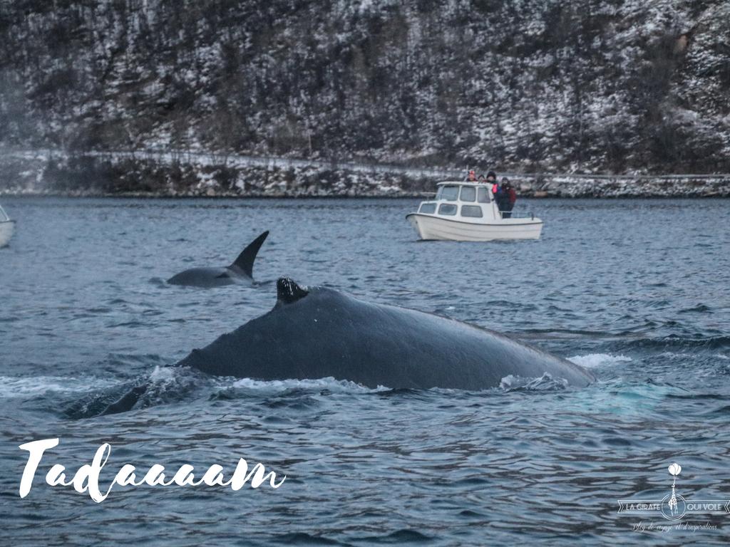 magie tromso norvege orque baleine