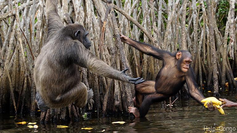 mon exp u00e9rience au congo avec les chimpanz u00e9s et help congo