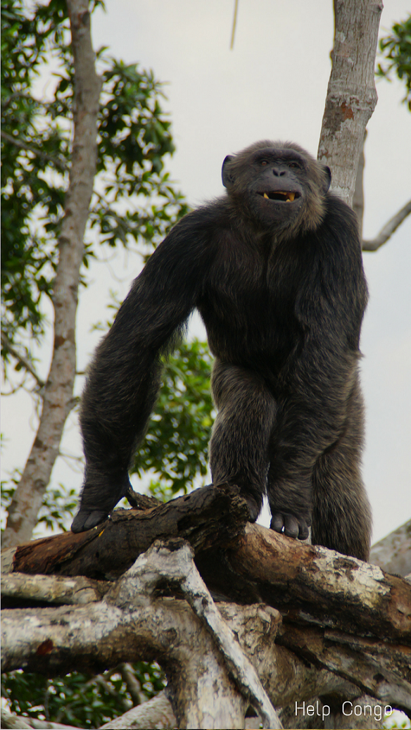 help congo chimpanzé