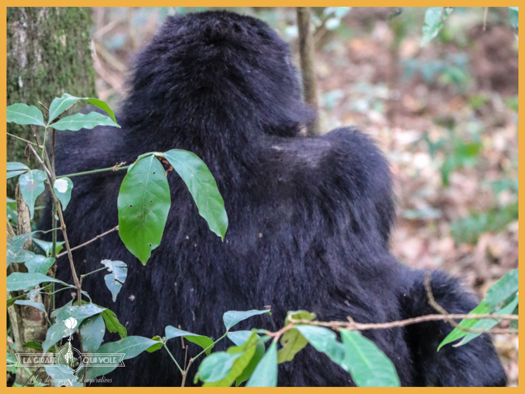 blog la girafe qui vole gorille ouganda bwindi