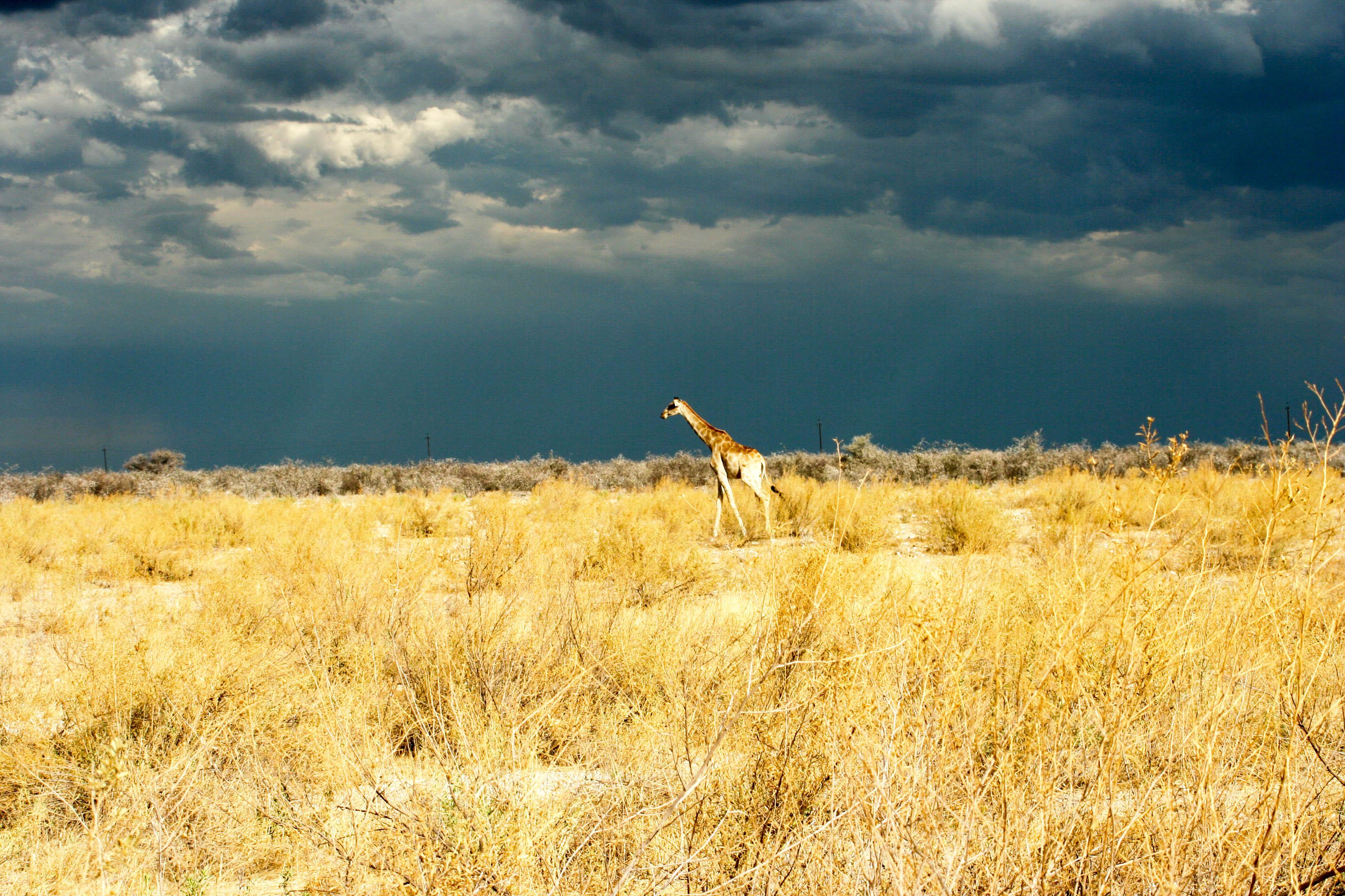safari Afrique blog voyage la girafe qui vole